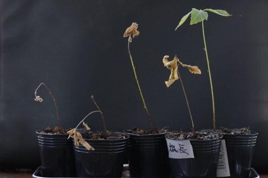 枯れたコナラのミニ盆栽
