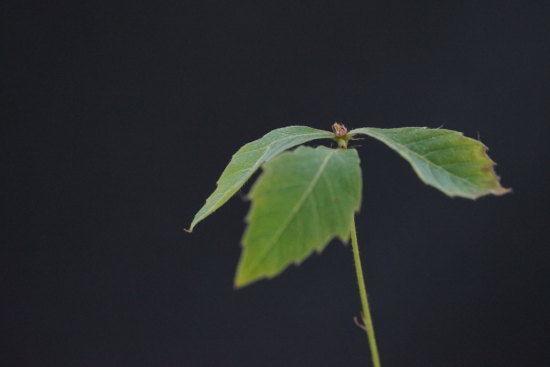 緑のあるコナラのミニ盆栽の葉っぱ