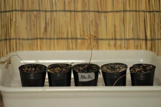 コナラのミニ盆栽:すっかり枯れた様子
