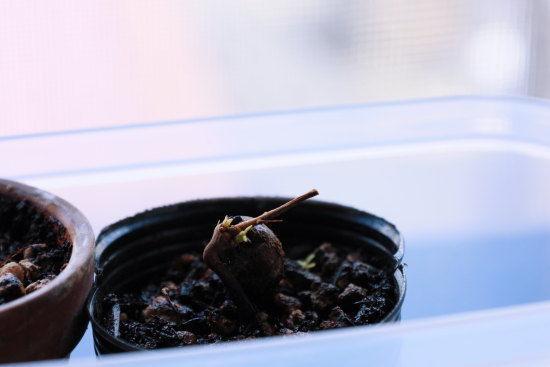 ミニ盆栽 コナラの芽吹きの様子