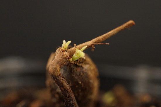 コナラのミニ盆栽 芽吹き