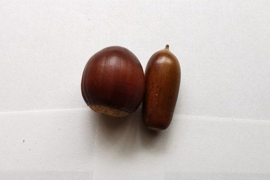 ミニ盆栽に向けて用意したクヌギとコナラのどんぐりの比較