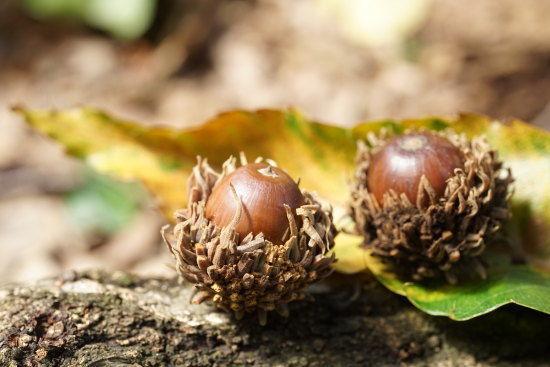 ミニ盆栽用のクヌギのどんぐりの写真