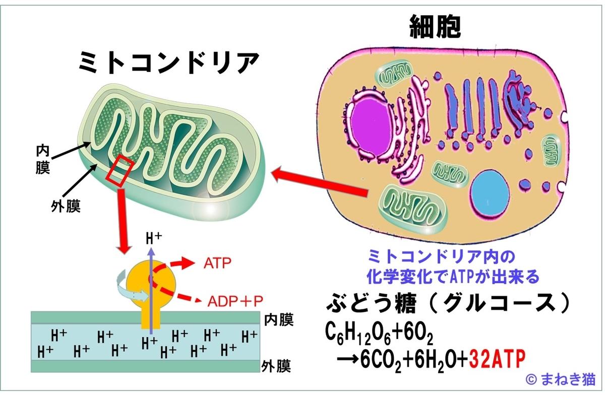 筋肉は、ミトコンドリアが生成するATPをエネルギーとして利用している