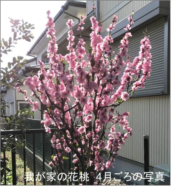 花桃の花 毎年4月頃に咲く