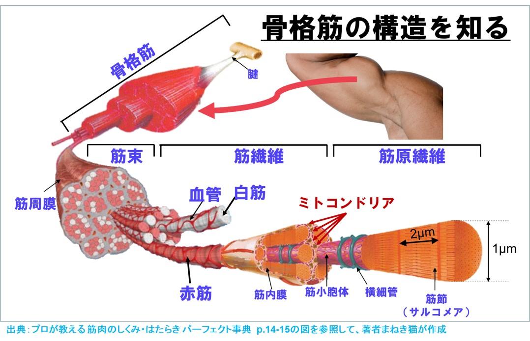 骨格筋の構造を知る 筋線威、ミトコンドリア
