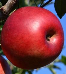 切り取った伝えたい部分 リンゴ