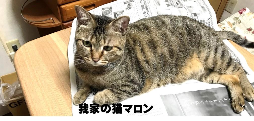 我が家の猫マロン-新聞の上に乗ってお遊びのおねだりをする