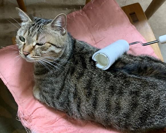 コロコロをしてもらう猫マロン