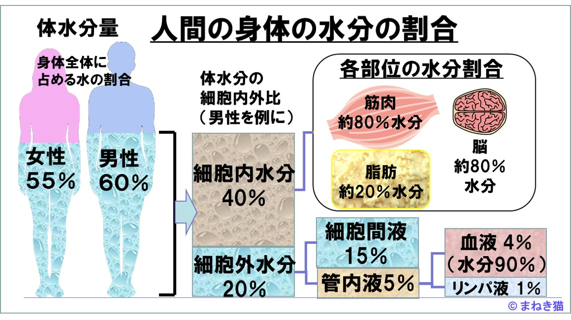 人間の身体の水分の割合筋肉は80%脂肪が20%水