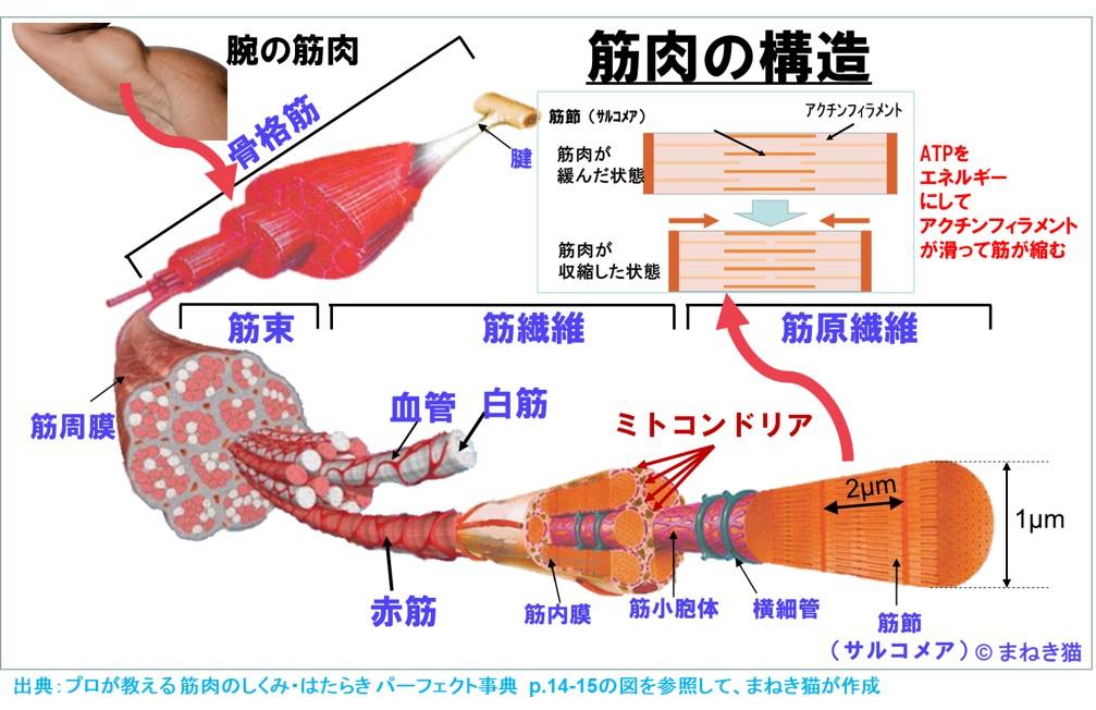 筋肉の構造-筋繊維のアクチンフィラメントがATPのエネルギーで滑る