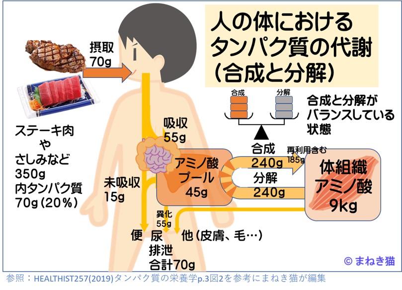 人の体におけるたんぱく質の代謝-合成と分解