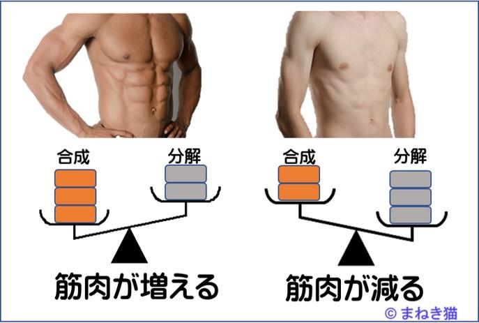 たんぱく質の合成が多いと筋肉が増えるが反対に分解が多いとやせる