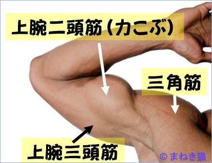 腕の主な筋肉上腕二頭筋三角筋上腕三頭筋