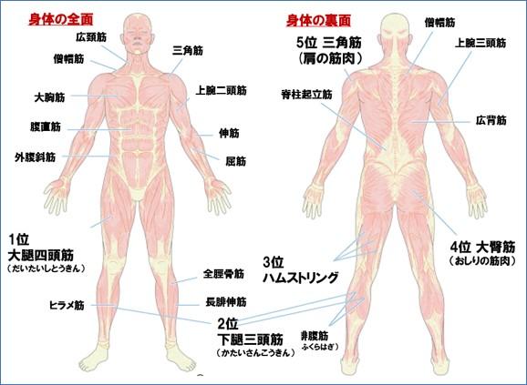 筋肉のマップ