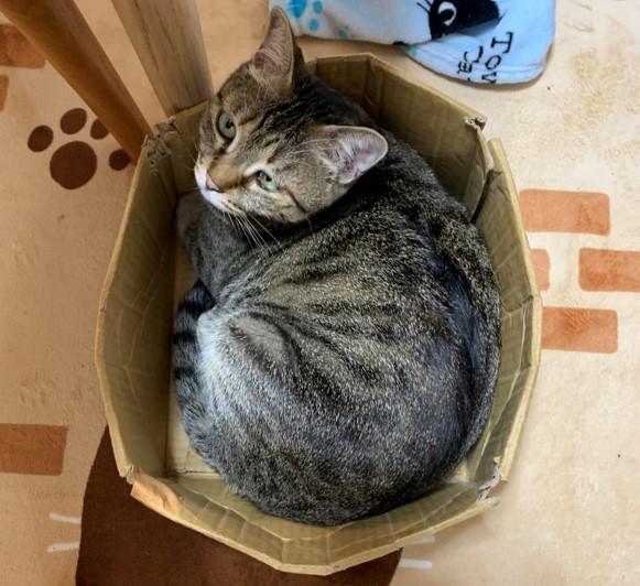 2-8-猫のマロンが何しているのとお気に入りの箱で見上げる