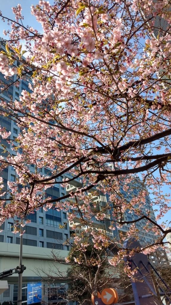 河津桜が咲き始めました、お台場にて