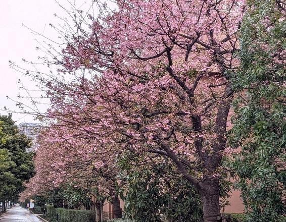 河津桜 なっちゃんのにこにこブログ