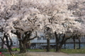 近所の桜吹雪