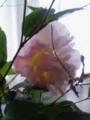 [植物]ますます染まる酔芙蓉(スイフヨウ)