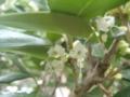 葉蔭に日本ヒイラギの花