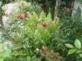 何と言う名前?赤い花(アリストロメリア原種)