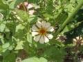 長老が向日葵だと思って植えたのは百日草だった。