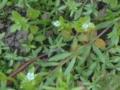 小さな小さな花畑(ムシクサ)