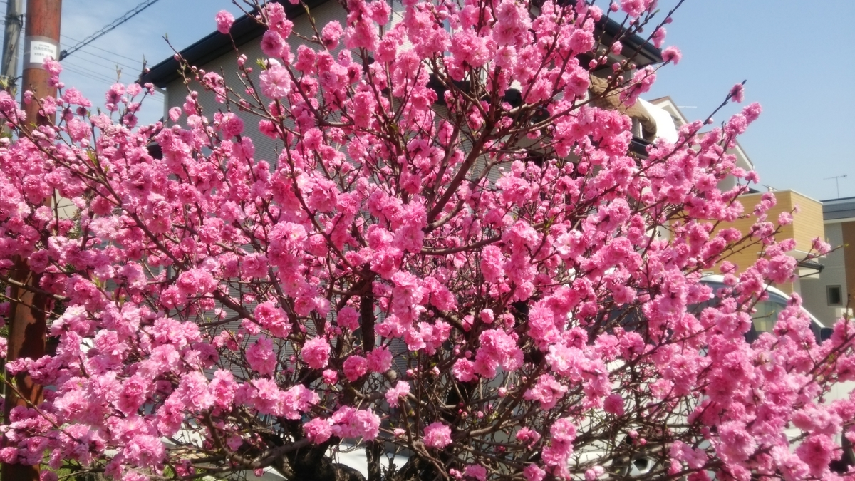 桃の花 薬用植物