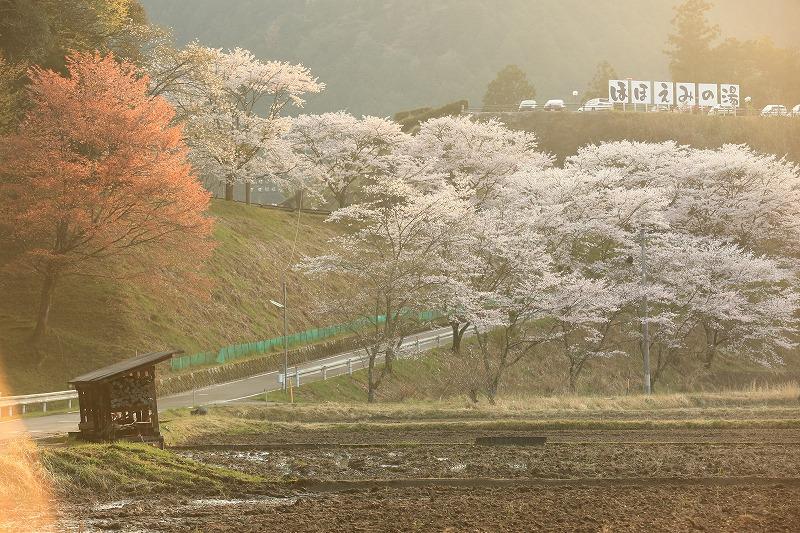 上之保温泉「ほほえみの湯」桜2
