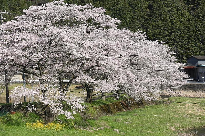 関市上之保和田野地区桜
