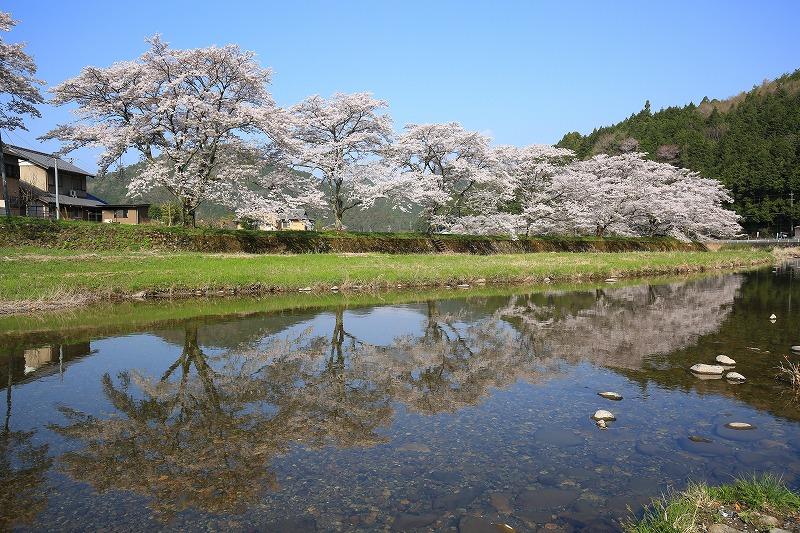 関市上之保和田野地区桜水鏡