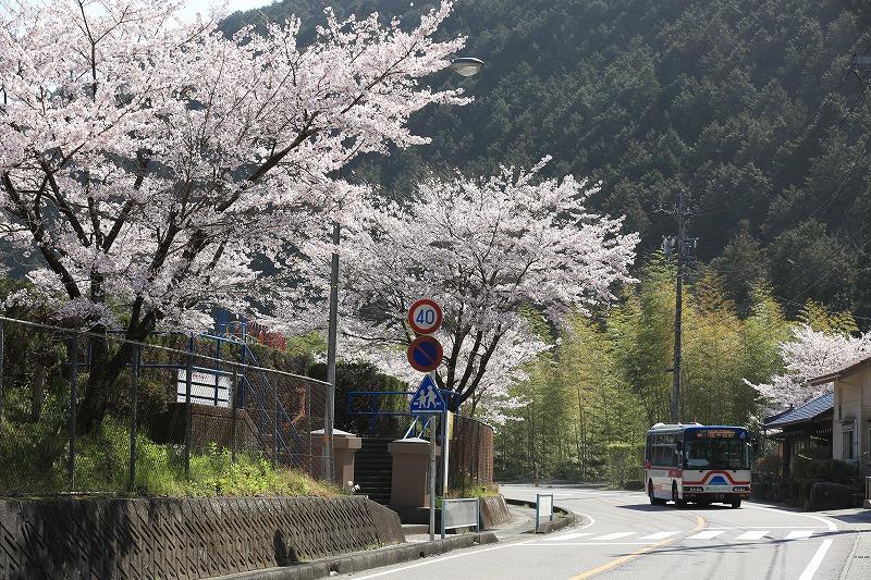 上之保小学校前桜