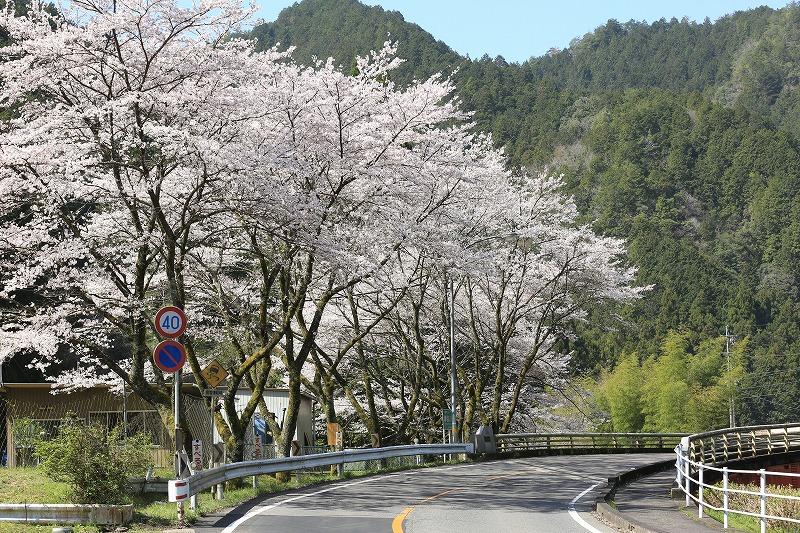 関市上之保桜カーブ