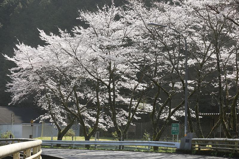 関市上之保桜逆光