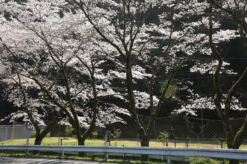 関市上之保桜逆光ドアップ