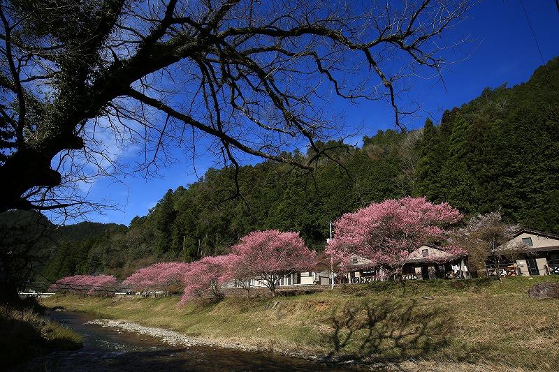 関市上之保土手に咲く桜