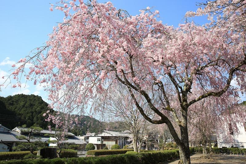 関市上之保生涯学習センター前しだれ桜