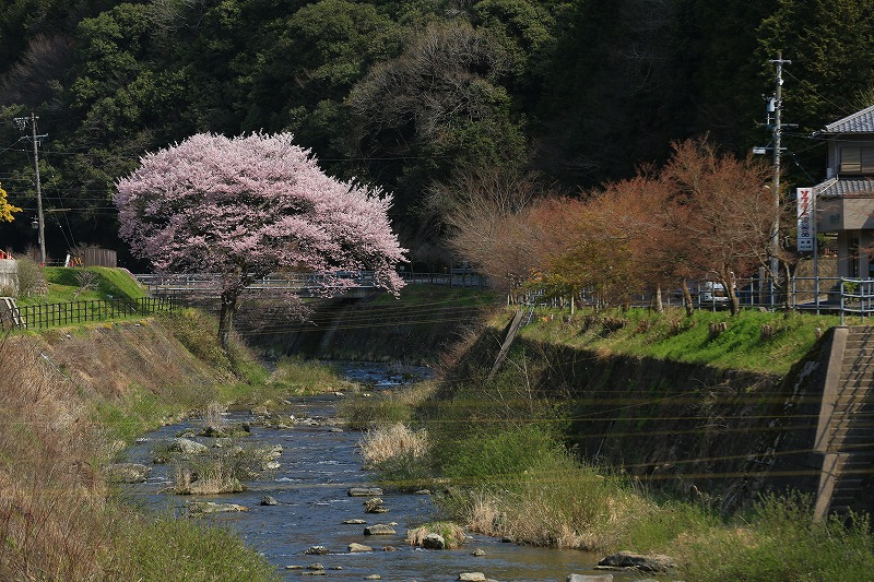 関市上之保目立つ桜