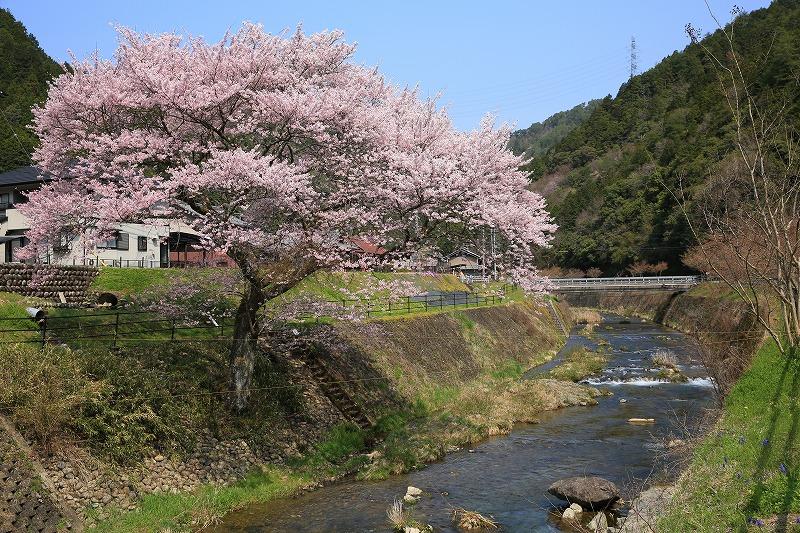 関市上之保正洞集落桜