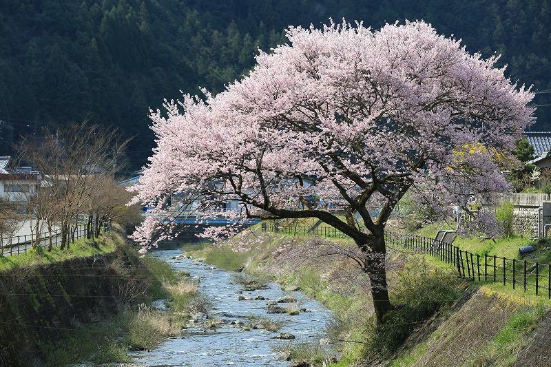 関市上之保正洞集落桜(逆光)