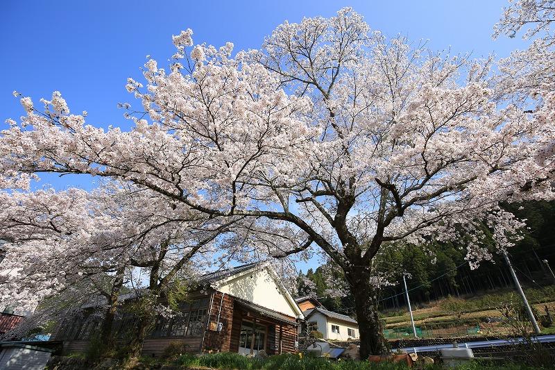 関市上之保行合地区木造校舎桜バック