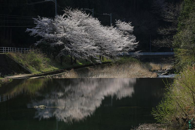 関市上之保明ケ島地区桜水鏡