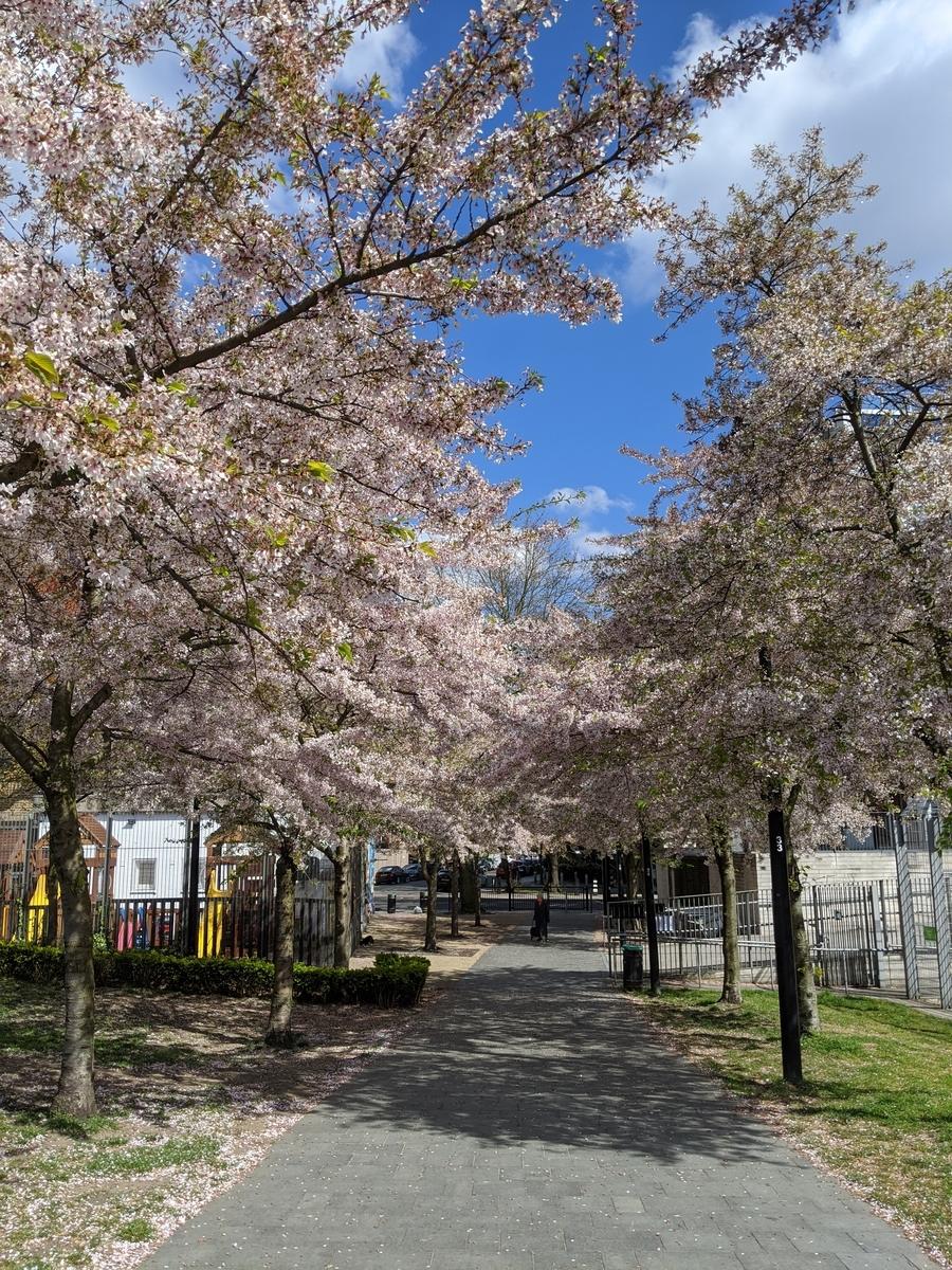 ロンドンの桜イギリスロックダウン