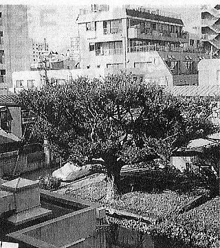 平成10年まであった椎の木