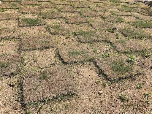 1ヶ月後の芝