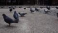 宇都宮二荒山神社の鳩