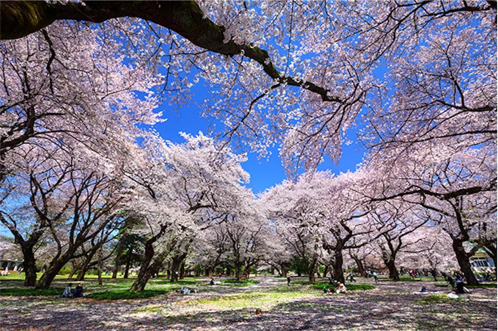 小金井公園 桜まつり