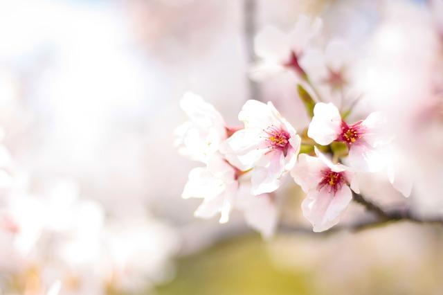 さくら 桜