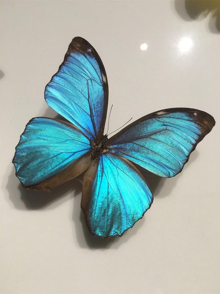 神奈川立生命の星・地球博物館 モルフォ蝶